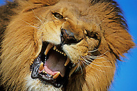 African Lion (Panthera leo) male snarling.