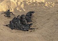 Leatherback turtle hatchlings<br />