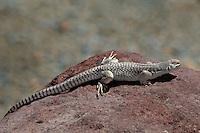 438500001 a wild desert iguana dipsosaurus dorsalis perches on a rock in darwin canyon inyo county california