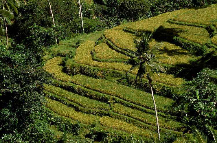 Rice Terraces, Ubud, Bali, Indonesia, photo bali203, Photo Copyright: Lee Foster, www.fostertravel.com, 510-549-2202, lee@fostertravel.com., rice, crop, agriculture, field, terrain, landscape, picturesque, horizontal