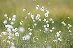 Cotton Grass, Eriophorum angustifolium, Kuhmo, Finland, Lentiira, Vartius near Russian Border,