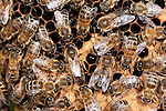 Queen with attending workers, Honey Bee, Apis mellifera, Kent UK, inside hive,
