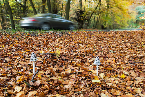 Surrey, England. Countryside scene, Mushrooms growing out from copper autumn leaves by a road with car driving by.