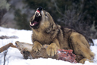 694926454 a captive gray wolf  canis lupus lays in a snowbank defending a deer carcass by snarling at an intruder and baring its fangs in central montana