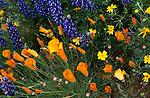 Poppies in Gorman, California