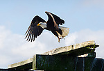 Bald eagle launches off the old dilapidated shipping pier in Dungeness/Sequim, 100 yards out to sea. It's a perfect platform to hunt off of.
