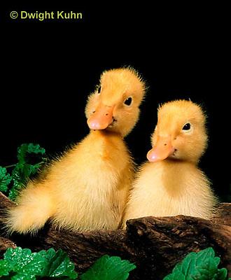DG20-114z  Pekin Duck - several day old ducklings