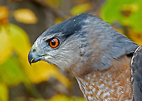 Cooper's Hawk (Accipiter cooperii), adult male (Pennsylvania)