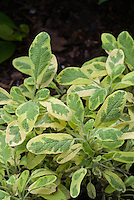 Salvia officinalis 'Icterina' variegated culinary sage herb growing
