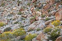 Anza-Borrego Desert State Park: Eight male desert bighorn sheep blend in on a rocky hillside in spring