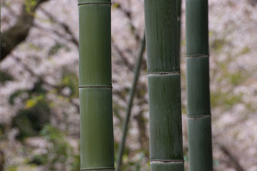 Bamboo and cherry blossoms, Kyoto, Japan.