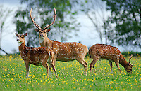 Axis Deer (Axis axis) standing in meadow
