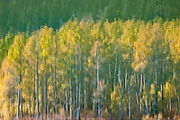 """Aspen Reflection on Water 1"" - This is a photograph of an aspen reflection on the surface of Marlette Lake."