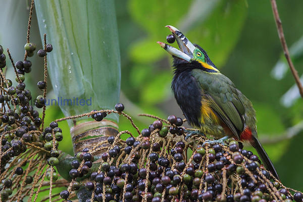 Spot-billed Toucanet (Selenidera maculirostris) feeding on palm fruits, Southeast Brazil.