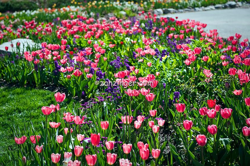 Bulbs, Tulips, Tulipa, Garden, flowers, grow, mixed, flora, botanic, colorful, blooming, spring, garden, horticulture
