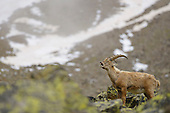 Alpine Ibex (Capra ibex), Alps, Italy
