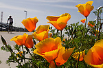 A cyclist pedals past some California Poppies is full spring bloom at Dockweiler Beach in El Segundo, CA. The California Poppy is the official state flower of California.