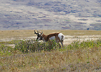 Pronghorn antelope buck stalking a female band.