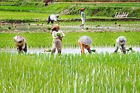Rantepao, Tana Toraja, Sulawesi, Indonesia, October 2010. Men and women work the rice paddy. The Toraja people live a traditional life in the forested mountains of South Sulawesi.  Photo by Frits Meyst/Adventure4ever.com