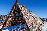Norway, Stokksund. Traditional drying of fish on fish-racks.
