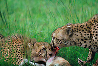 615004058 a mother and young cub acinonyx jubatus feed on a thompsons gazelle on an open plain in masai mara reserve in kenya