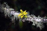 Lichen crusted oak (Dipsea Trail) 2012