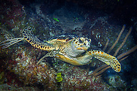10 June 2015: A Hawksbill Sea Turtle (Eretmochelys imbricata) swims near the bottom at Lemon Reef, on the North Shore of Grand Cayman Island. Located in the British West Indies in the Caribbean, the Cayman Islands are renowned for excellent scuba diving, snorkeling, beaches and banking.  Mandatory Credit: Ed Wolfstein Photo *** RAW (NEF) Image File Available ***