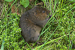 Water Vole, Arvicola terrestris, at side of pond, feeding on reeds, rodent.United Kingdom....