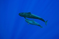 Short-finned Pilot Whales, mother and calf, Globicephala macrorhynchus, off Kona Coast, Big Island, Hawaii, Pacific Ocean.