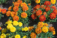 Marigold mixture of annual flowers colors, types, red, orange, yellow, bicolored, Tagetes French