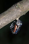 Monarch Butterfly (Danaus plexippus) - just  begining to emerge from pupae, cocoon, chrysalis, lifecycle  hatching, metamorphosis sequence .USA....