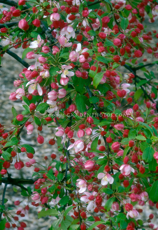 Flowering crabapple in spring bloom with red buds and pink flowers of Malus floribunda . Small growing, dwarf crabapple tree