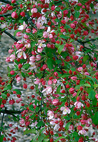 Flowering crabapple in spring bloom with red buds and pink flowers of Malus floribunda