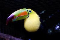 Kell-billed toucan (Ramphastos sulfuratus) at the Macaw Mountain Bird Park, Copan, Honduras