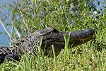 Brazoria County, Damon, Texas; a large, adult American Alligator (Alligator mississippiensis) warming itself in the sun, while resting on the bank of the slough