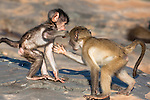 Baby chacma baboons, Papio cynocephalus ursinus, playfighting, Kruger National Park, South Africa