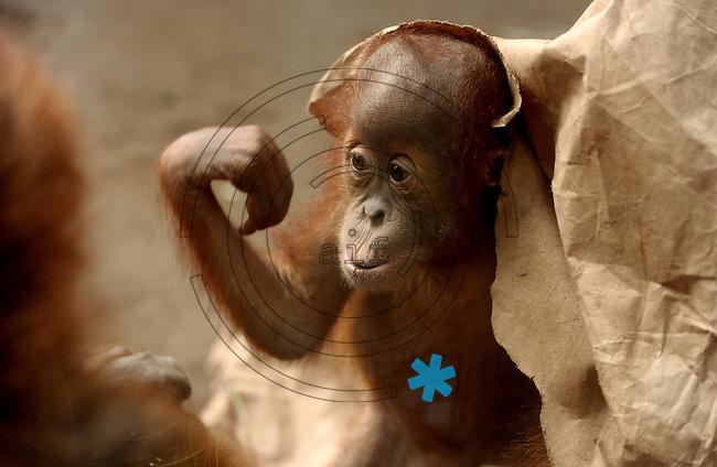 Pongoland Zoo Leipzig - MPI - im Bild: Orang-Utan - Batak (baby jungtier).  Foto: Norman Rembarz ..