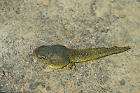 412770004 a wild bullfrog tadpole lithobates catesbeiana lays along the bottom of piru creek in the angeles national forest in northern los angeles county california