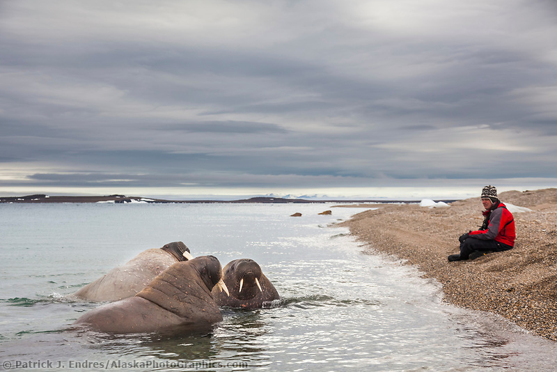 Man sits on the shores and watches a group of curious Walrus in Svalbard, Norway