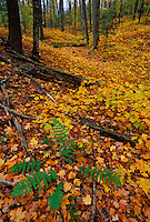 Fallen maple leaves in fall color cover the ground in a forest near Marquette, Michigan in autumn.