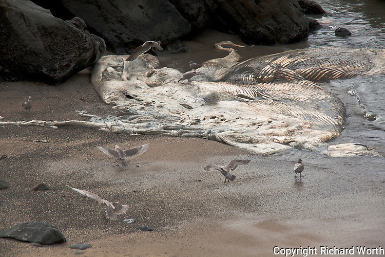 Gulls continue the process, nature's course,feeding on a blue whale carcass, three months after it was first spotted at Bean Hollow State Beach along California's central coast.