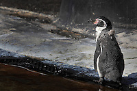 Humboldt penguin (Spheniscus humboldti), a vulnerable species of South American penguin, in the Zone Patagonie of the new Parc Zoologique de Paris or Zoo de Vincennes, (Zoological Gardens of Paris or Vincennes Zoo), which reopened April 2014, part of the Museum national d'Histoire naturelle (National Museum of Natural History), 12th arrondissement, Paris, France. Picture by Manuel Cohen