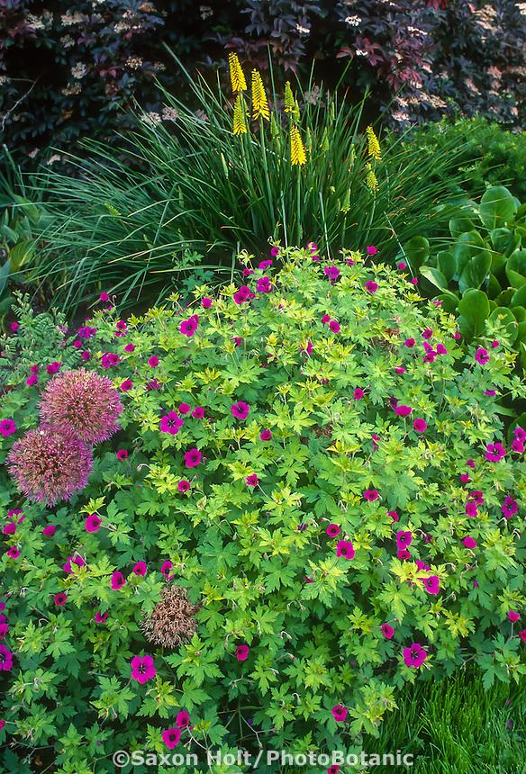 Geranium 'Anne Thompson' in garden border - Garden of Linda Cochran
