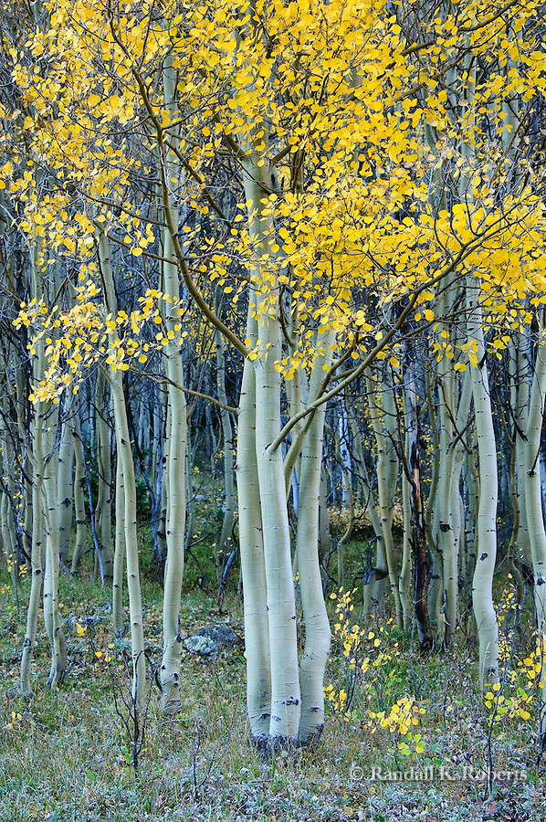 Autumn aspens near Henson Creek, west of Lake City, Colorado, Uncompahgre National Forest.
