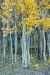 Autumn aspens near Henson Creek, west of Lake City, Colorado, Uncompahgre National Forest.
