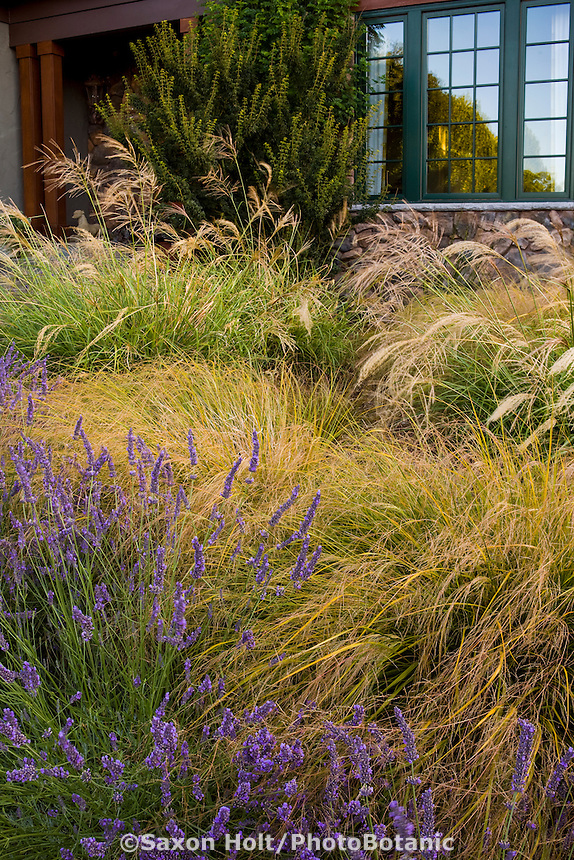 Front yard meadow garden with ornamental bunch grasses, Stipa gigantea (flowering), Anemanthele lessoniana, and lavender (Lavandula); design Maile Arnold