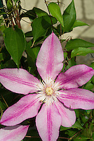 Clematis Killian Donahue perennial striped climbing perennial vine in pink tones