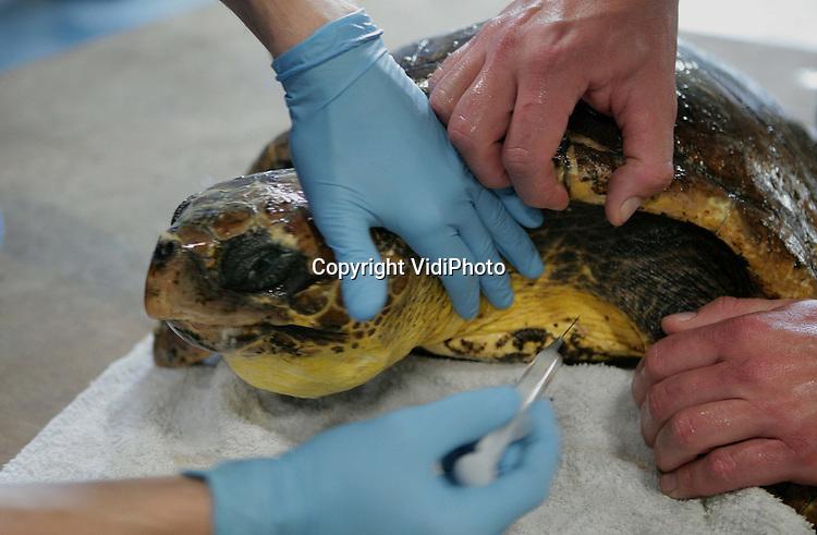 """Foto: VidiPhoto..ARNHEM - Burgers' Zoo in Arnhem verzorgt op dit moment achter de schermen een zeeschildpad die eerder voor de Nederlandse kust bij Den Helder is aangetroffen. Het is nog niet eerder gebeurd in de Nederlandse geschiedenis dat een zeeschildpad is aangespoeld. Met de """"onechte karetschildpad"""" gaat het inmiddels goed en het dier is inmiddels 3 kilo in gewicht toegenomen. Wat er met het zeedier gaat gebeuren is nog niet duidelijk. De schildpad mist een deel van de rechtervoorpoot."""