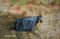 1R13-048a  Painted Turtles female laying eggs in soil - Chrysemys picta.