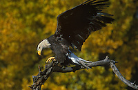 521040062 a captive wildlife rescue adult bald eagle performs a wing stretch while perched on a dead snag over a small pond in central colorado this bird cannot fly and is a permanent wildlife care facility resident